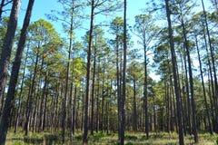 Pins plantés par paysage sur la terre 2 de sylviculture images libres de droits