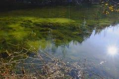 Pins sur la banque de l'étang Photographie stock