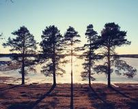 Pins sur le rivage d'un lac congelé Photo libre de droits