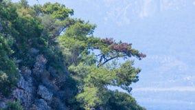 Pins sur le rivage montagneux photographie stock