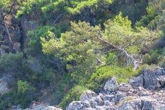 Pins sur le rivage montagneux images stock