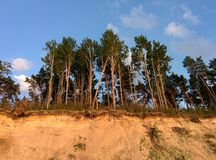 Pins trees above sand coast Royalty Free Stock Photography