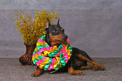 Pinscher Royalty Free Stock Image