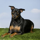 Pinscher (15 months old) Royalty Free Stock Image