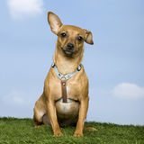 Pinscher ( 2 years old) Stock Images