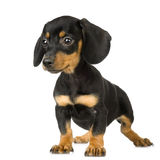 Pinscher royalty free stock images