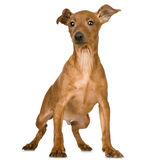 Pinscher Stock Photo