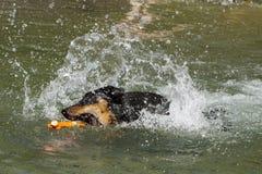 Pinscher alemán criado en línea pura que trae el juguete en un lago Foto de archivo libre de regalías