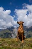 Pinscher alemán en paisaje alpino fotografía de archivo libre de regalías