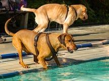 Pinscher allemand à une piscine Photographie stock libre de droits