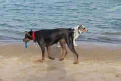 Pinscher australiano del pastor y del doberman que pasa en una playa Imagen de archivo libre de regalías