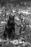 Pinscher de dobermann se reposant sur les feuilles sous la branche incurvée Photo stock