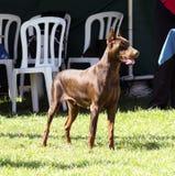 Pinscher del doberman (marrone) Fotografia Stock Libera da Diritti