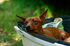 Pinscher del nano della razza del cane immagini stock