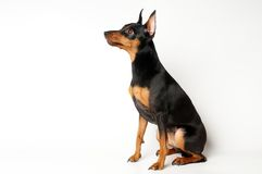 Pinscher diminuto foto de stock royalty free