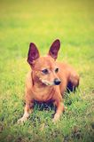 Pinscher diminuto no verde Imagem de Stock Royalty Free