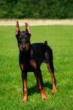 Pinscher do Doberman da raça do cão imagem de stock royalty free