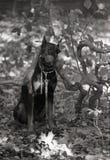 Pinscher do Doberman que senta-se nas folhas sob o ramo curvado Fotografia de Stock Royalty Free