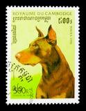 Pinscher Doberman (familiaris) волчанки волка, serie собак, около 19 Стоковые Фото