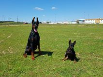 Pinscher and doberman. My dogs dobi and pinscher Royalty Free Stock Photo