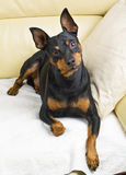 Pinscher dog Stock Photos
