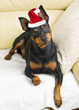 Pinscher dog Royalty Free Stock Photography