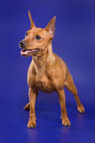 Pinscher dog. On a blue background Stock Images