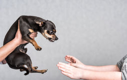 Pinscher dog aggressive reaction Stock Images