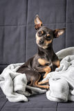 Pinscher dog on the blanket Royalty Free Stock Image