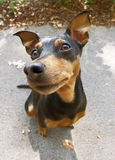 Pinscher dog fisheye view. Fisheye view of Pinscher dog royalty free stock image