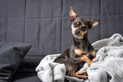 Pinscher dog on the sofa Stock Images