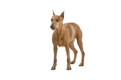 Pinscher dog on white Royalty Free Stock Image