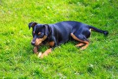 Pinscher enano, perro Foto de archivo