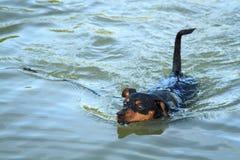 Pinscher enano, perro Fotografía de archivo