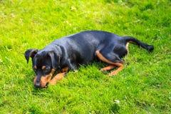 Pinscher enano, perro Imagenes de archivo