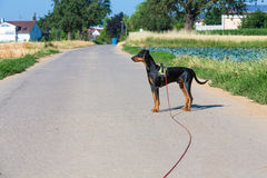 Pinscher Stock Photography