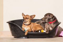 Pinscher Royalty Free Stock Photo