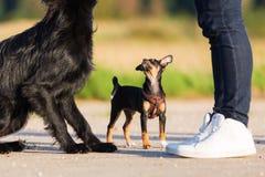 Pinscher hybrid puppy and black dog stand in front of a man. Pinscher hybrid puppy and a black dog are standing in front of a man Stock Photography
