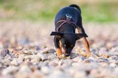 Pinscher hybrid puppy sleuths on a pebble beach. Cute pinscher hybrid puppy sleuths on the ground of a pebble beach Stock Photography