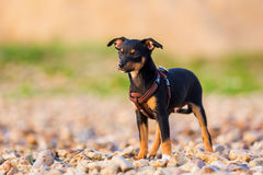 Pinscher hybrid puppy stands on a pebble beach. Cute pinscher hybrid puppy stands on a pebble beach Stock Photography