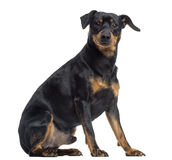 Pinscher and Jagterrier crossbreed, isolated on white, sitting Royalty Free Stock Photo