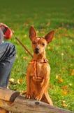 pinscher karłowata czerwień Obraz Royalty Free