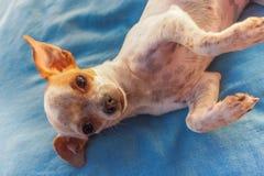 Chihuahua lying on pillow Stock Photo