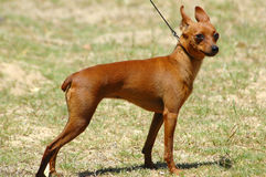 Pinscher miniatura Immagine Stock