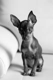 Pinscher miniatura del perrito lindo Fotos de archivo