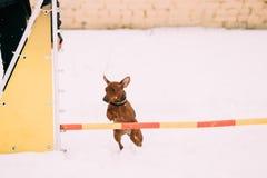 Pinscher miniatura marrone-rosso Pincher Min Pin Zwergpins del cane divertente Immagini Stock Libere da Diritti