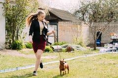 Pinscher miniatura marrone-rosso Pincher Min Pin Zwergpins del cane divertente Fotografia Stock Libera da Diritti