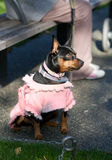 Pinscher miniature de dobermann Photo libre de droits