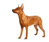 Pinscher miniature rouge d'isolement sur le blanc Images stock