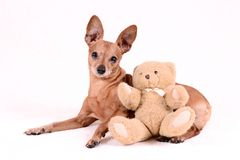 Pinscher miniature sur le fond blanc Photo stock